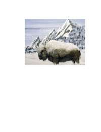North American Buffalo